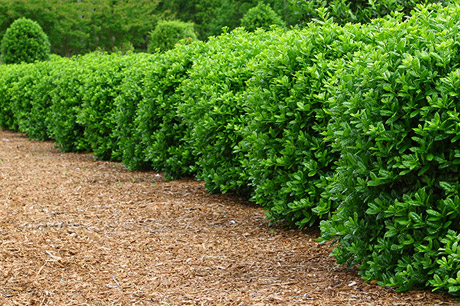 Trimmed and well-shaped shrubs in Bloomington, IL
